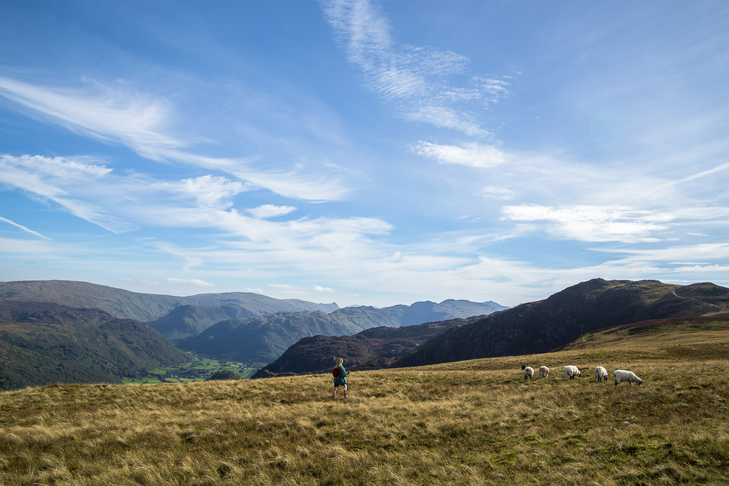 Hollie, backdropped by other Wainwrights, passes some sheep