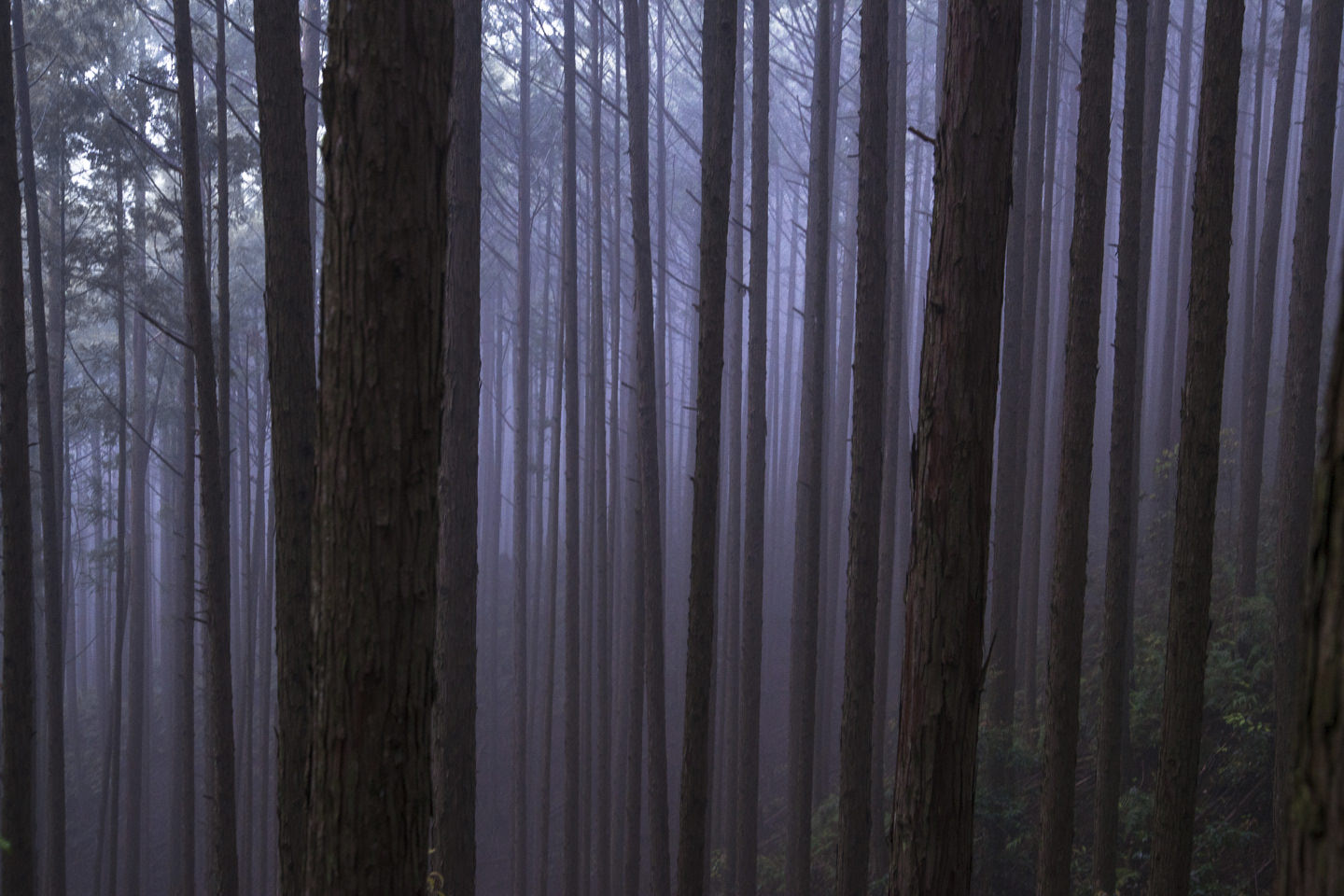 Tall, straight tree trunks in a swathe of thick fog